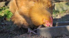 Grippe aviaire : nouvelle contamination à Bassenge