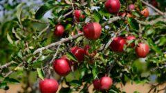 Achat groupé d'arbres fruitiers 2020